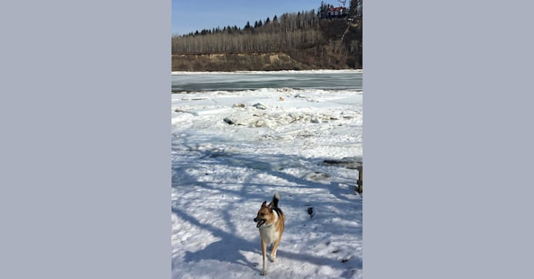 Photo of Archer, a German Shepherd Dog, Alaskan Malamute, Alaskan-type Husky, Great Pyrenees, and Mixed mix in Northwest Territories, Canada
