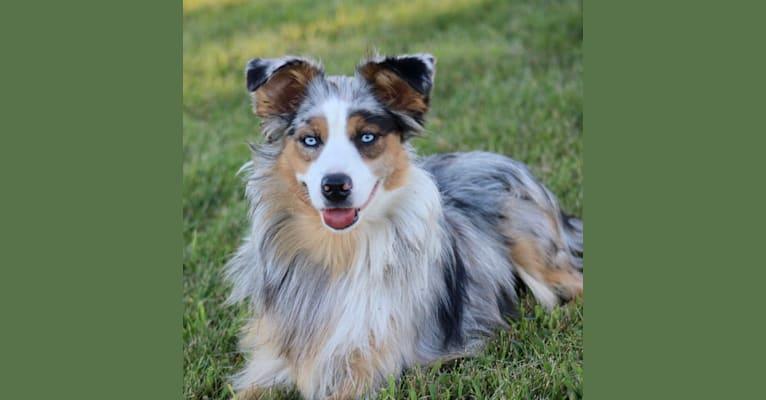 Photo of Tilly, an Australian Shepherd Group