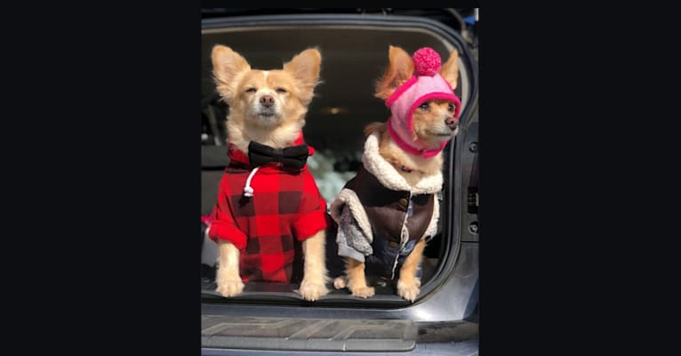 Photo of Buttercup & Twinkie, a Pomeranian, Poodle (Small), Chihuahua, and Maltese mix in Los Angeles, California, USA