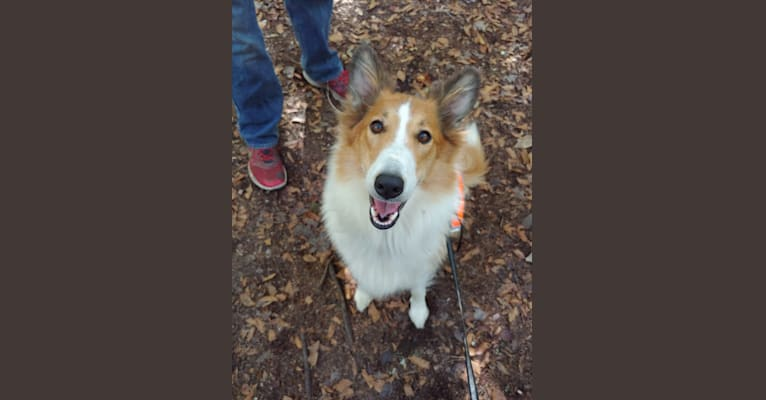 Photo of Vega, a Collie and English Shepherd mix in Folsom, LA, USA