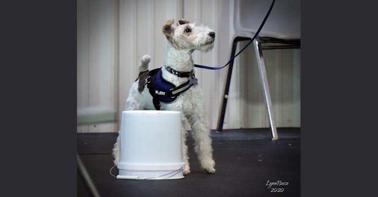Photo of Django, a Wire Fox Terrier  in Racine, WI, USA