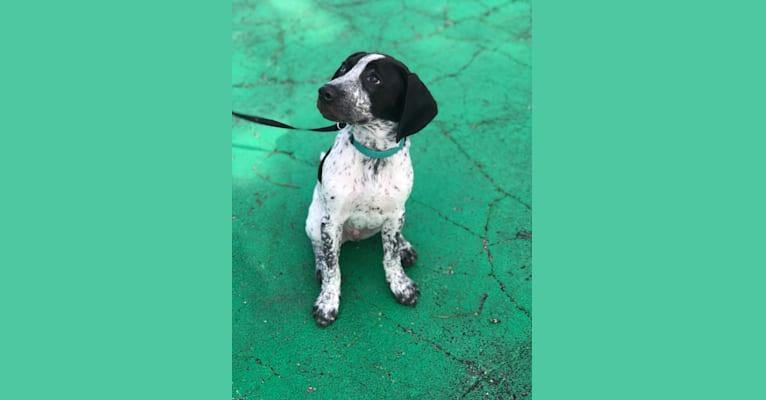 Photo of Gilligan, a Beagle, Australian Cattle Dog, and Boston Terrier mix in Louisiana, USA