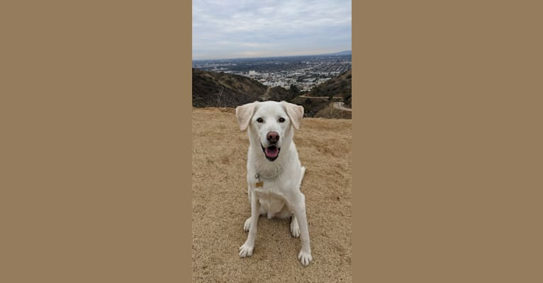 Photo of Handsome, a Siberian Husky, Labrador Retriever, and German Shorthaired Pointer mix in Tracy, CA, USA