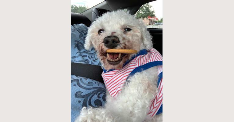 Photo of Harry, a Bichon Frise  in Orlando, Florida, USA