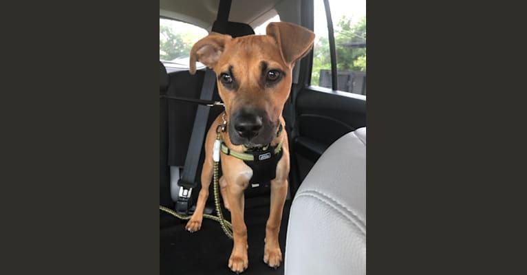 Photo of Zeko, an American Pit Bull Terrier, Pembroke Welsh Corgi, Labrador Retriever, Australian Shepherd, and Mixed mix in Georgia, USA