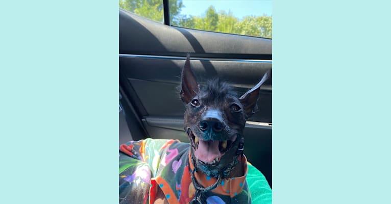 Photo of Tarzan, a Xoloitzcuintli, Italian Greyhound, Chihuahua, Schipperke, and Mixed mix in Florida, USA
