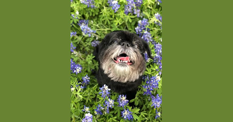 Photo of Gladys, a Brussels Griffon  in Tulsa, Oklahoma, USA