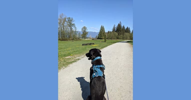 Photo of Spocky, a Labrador Retriever, Golden Retriever, Boxer, Rottweiler, and German Shepherd Dog mix in Burnaby, British Columbia, Canada