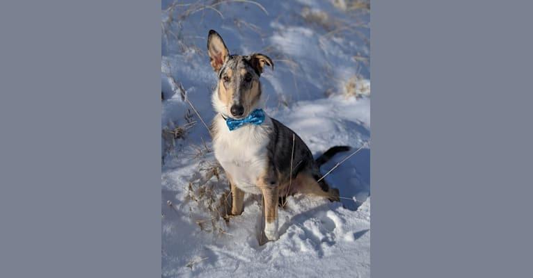 Photo of Moqui, a Collie  in Athol, ID, USA