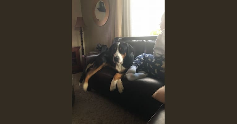 Photo of Zoe, a Greater Swiss Mountain Dog  in Long Island, New York, USA