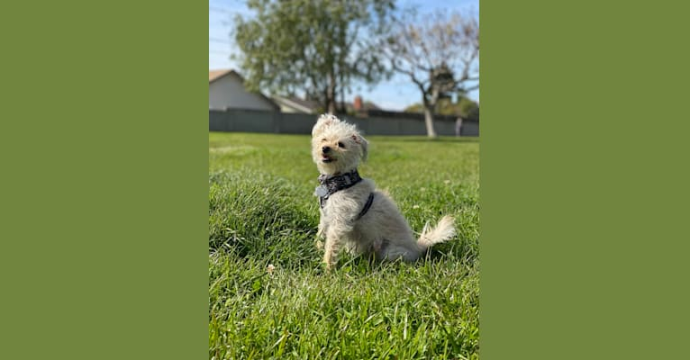 Photo of Charlie Jr., a Poodle (Small), Chihuahua, and Mixed mix in San Jacinto, California, USA