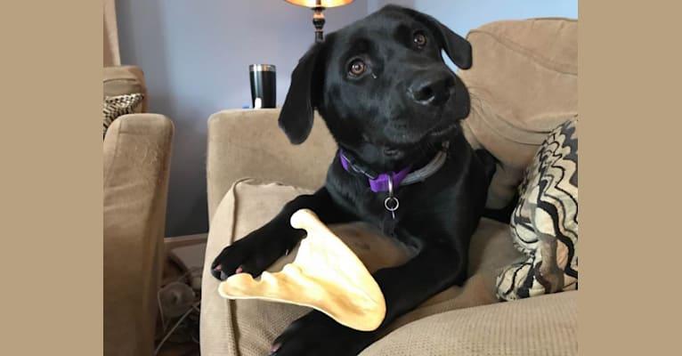 Photo of Faith, a Labrador Retriever, Chow Chow, Weimaraner, Australian Cattle Dog, and Mixed mix in Georgia, USA