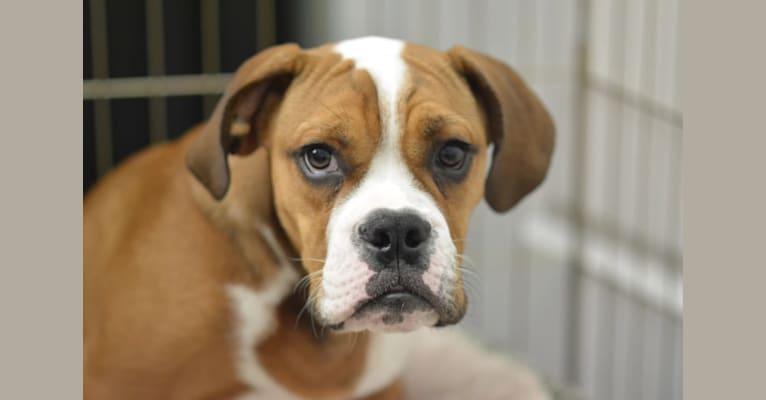 Photo of Baxter, a Bulldog and Beagle mix in Florida, USA