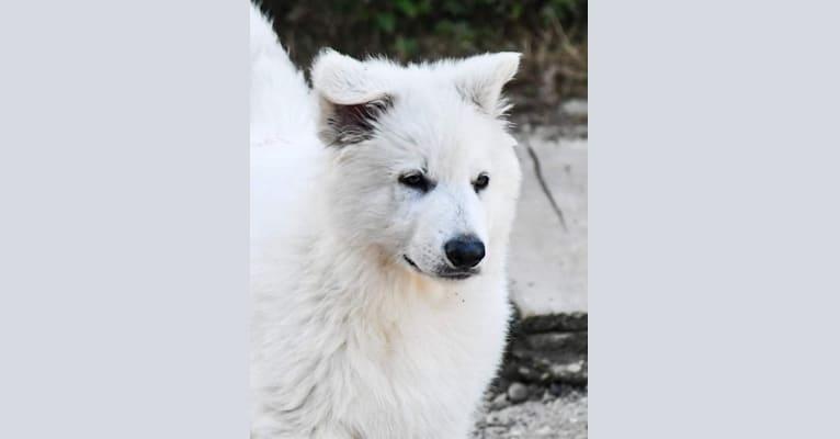 Photo of Veda, a White Shepherd
