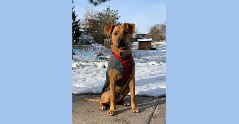 Photo of Hamilton, an American Pit Bull Terrier, Labrador Retriever, German Shepherd Dog, Chow Chow, and Mixed mix in Alabama, USA