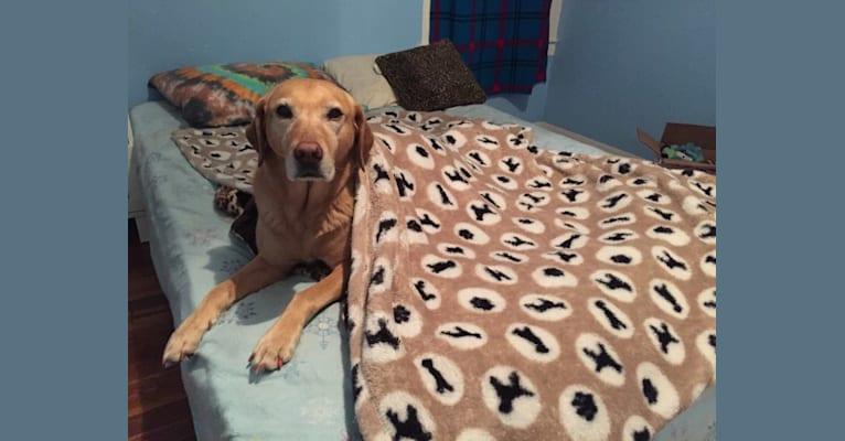 Photo of Sadie, a Labrador Retriever and American Bulldog mix in Lansing, Michigan, USA