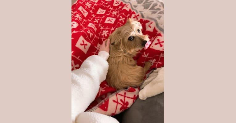 Photo of Meka, Duchess of Norwich, a Norwich Terrier  in Kentucky, USA