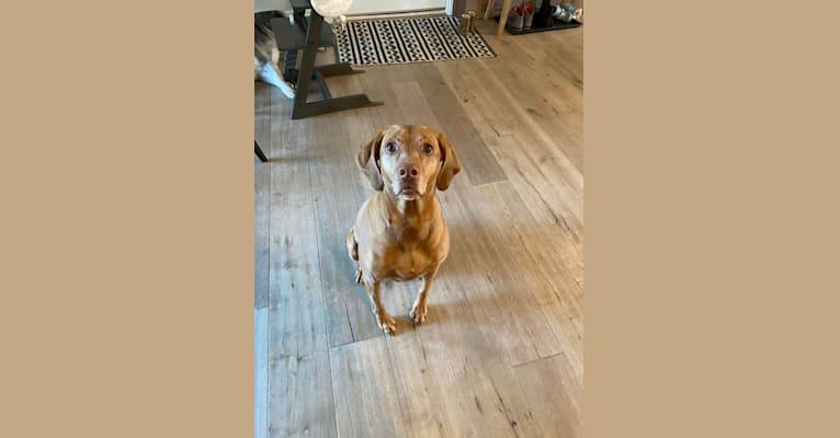 Photo of Nellie, a Vizsla  in Topeka, Kansas, USA