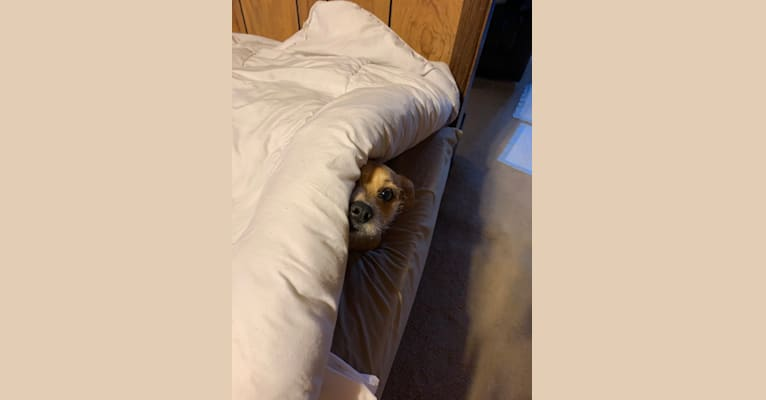 Photo of Teddy, a Pomeranian, Yorkshire Terrier, Chihuahua, Beagle, and Mixed mix
