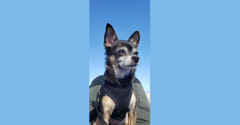 Photo of Phoebe Cakes Cordeiro, a Chihuahua and Mixed mix in Moorpark, California, USA