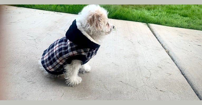 Photo of Blizzard, a Poodle (Small) and Mixed mix in Gilbert, Arizona, USA