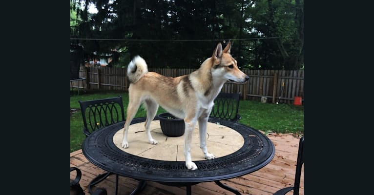 Photo of Ember, a West Siberian Laika  in Indiana, USA