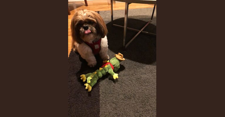 Photo of Buster, a Shih Tzu and Pekingese mix in San Jose, California, USA