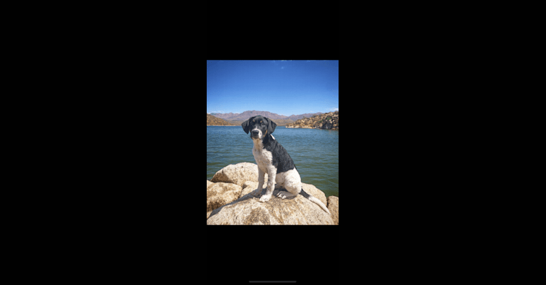 Photo of Griswold, a Saint Bernard, American Staffordshire Terrier, and Mixed mix in Arizona, USA