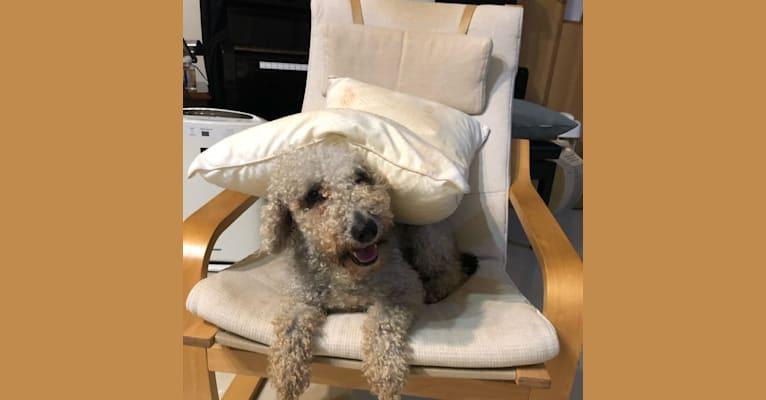 Photo of Gumee, a Bedlington Terrier  in 台灣