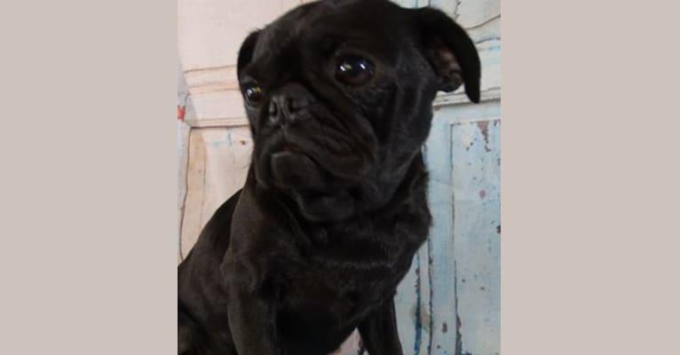 Photo of Popcorn, a Pug