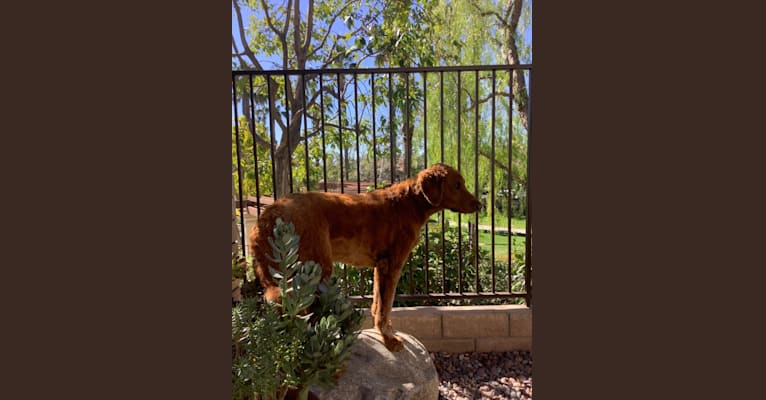 Photo of Kobe, a Goldendoodle  in Menifee, CA, USA