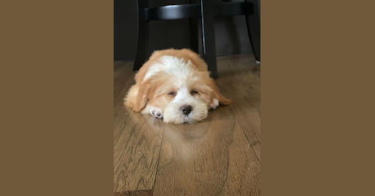 Photo of Maggie, a Tibetan Terrier  in Carrollton, Texas, USA