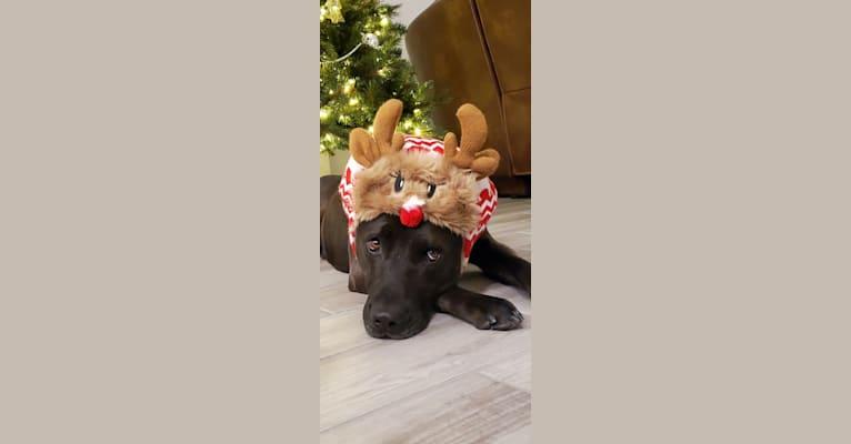 Photo of Tucker, an American Pit Bull Terrier, Siberian Husky, and German Shepherd Dog mix in Rancho Cordova, California, USA