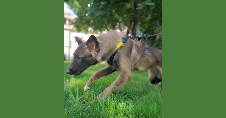 Photo of Apollo, a Belgian Shepherd  in Guelph, Ontario, Canada