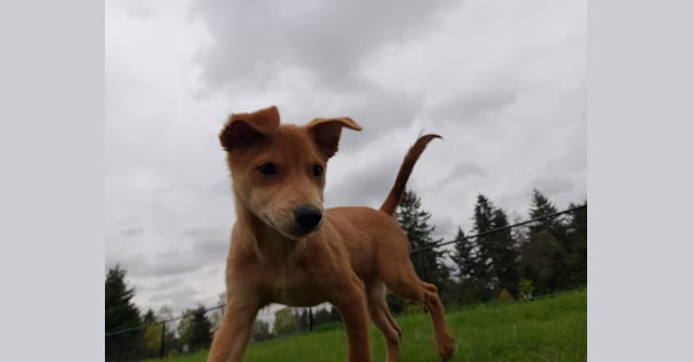 Photo of Brody, a Chihuahua, Dachshund, Pomeranian, and Mixed mix in Tacoma, WA, USA