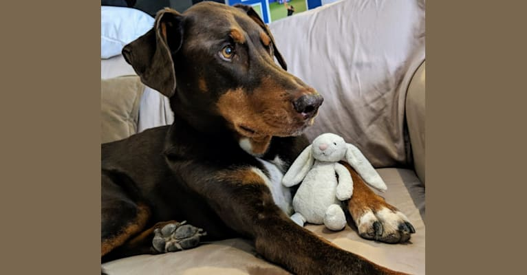Photo of Wally, a Doberman Pinscher, Siberian Husky, and Australian Shepherd mix
