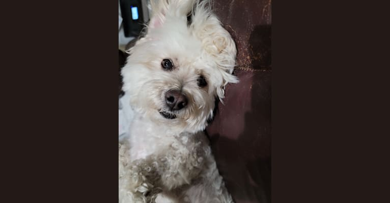 Photo of Ducky, a Poodle (Small)  in California, USA