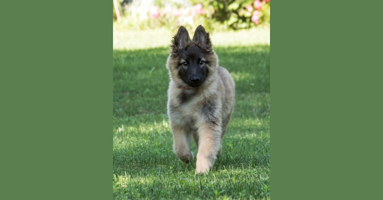 Photo of Reyna, a Belgian Shepherd  in St. Louis, Missouri, USA