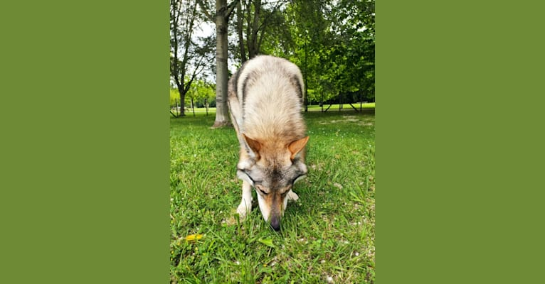 Photo of Prince of the Wolves Wild Instinct Kennel, a Czechoslovakian Vlcak  in Viterbo, VT, Italy