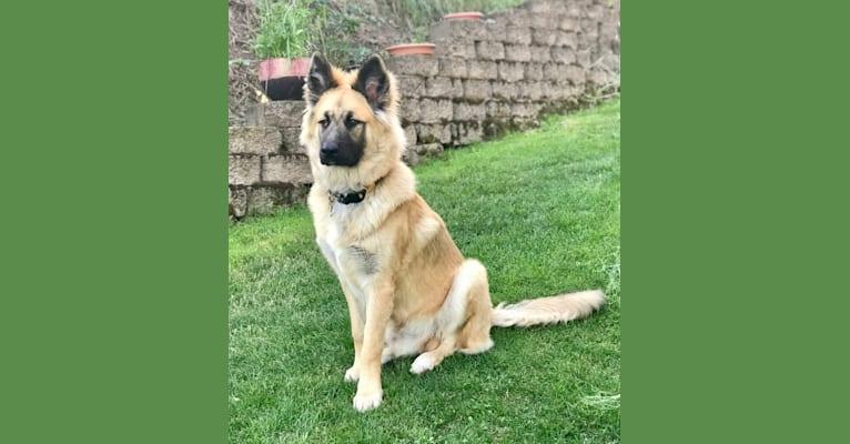 Photo of Jordy, a German Shepherd Dog, Alaskan Malamute, Akita, and Mixed mix in Idaho, USA