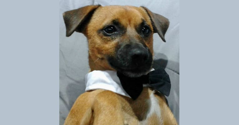 Photo of Pipi, a Russell-type Terrier, Chihuahua, and Border Terrier mix in Hialeah, Florida, USA