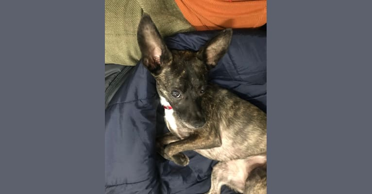 Photo of Lex Gabubz, a Chihuahua, Boston Terrier, and Mixed mix in New York, New York, USA