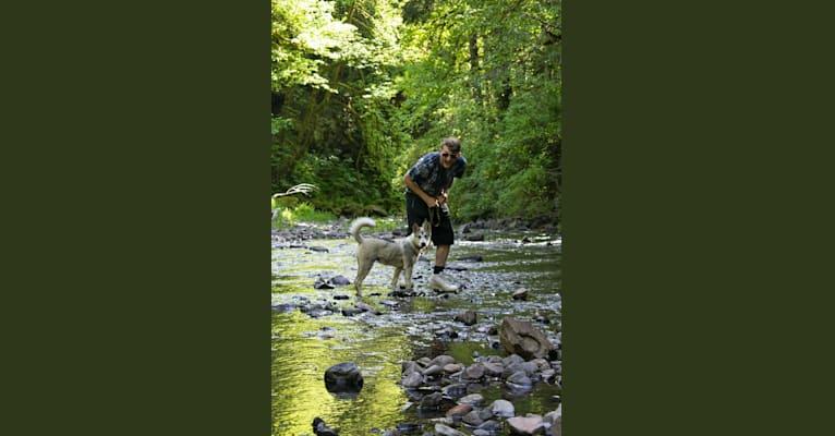 Photo of Yomi, an Alaskan Malamute and Siberian Husky mix in Tigard, Oregon, USA