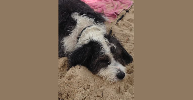 Photo of Frehley, a Beagle and Bichon Frise mix in New Jersey, USA