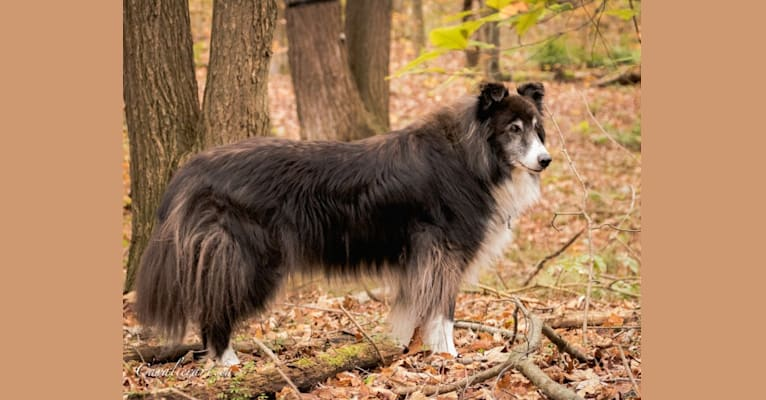 Photo of Dakota, a Collie, Border Collie, and German Shepherd Dog mix in Mount Albert, Ontario, Canada