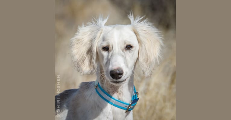 Photo of Silver, a Saluki