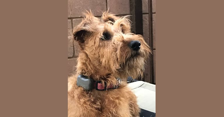 Photo of HOOLIGAN, an Irish Terrier  in California, USA