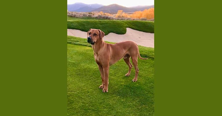 Photo of Hughie, a Rhodesian Ridgeback  in Reno, Nevada, USA