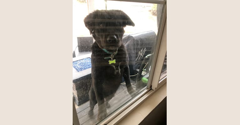 Photo of Sadie Sesma, an American Bully, German Shepherd Dog, Siberian Husky, Boxer, and Mixed mix in Tijuana, Baja California, Mexico