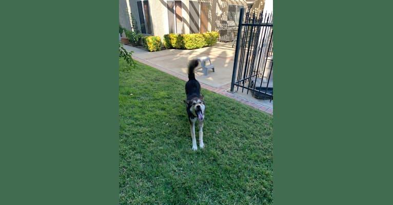 Photo of Shiloh, a Siberian Husky, German Shepherd Dog, Golden Retriever, and Australian Cattle Dog mix in Lancaster, California, USA